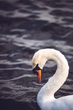 Swan on a lake Royalty Free Stock Photos
