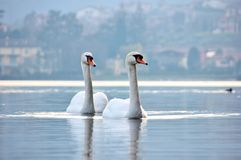 Swan Lake, Italy. Couple of swans, Iseo Lake, Italy Royalty Free Stock Images