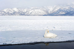 Swan in lake kussharo Royalty Free Stock Photo