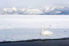 Swan in lake kussharo. A white swan lying on snow beside the shore of lake kussharo in winter Royalty Free Stock Photo