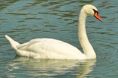 Swan lake lateral close view Stock Images
