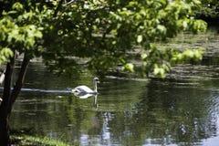 Swan on Lake Laverne Stock Image