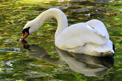 Swan on the lake Royalty Free Stock Image