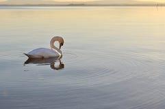 Swan on lake Royalty Free Stock Image