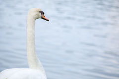 Swan with lake Royalty Free Stock Images