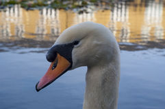 Swan. In a lake looking curious Royalty Free Stock Photography