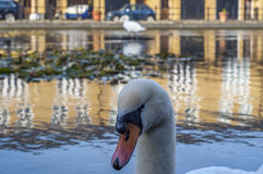 Swan. In a lake looking curious Stock Photos