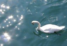 Swan on Lake Lucerne, Switzerland. Swan caught in the sunlight, swimming on Lake Lucerne, Switzerland Royalty Free Stock Photography