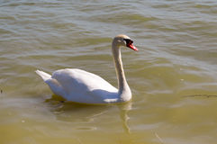 Swan on the lake of madine royalty free stock photo