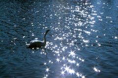 Swan lake. Magical reflection of the sun Royalty Free Stock Photo
