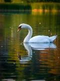Swan on lake Stock Image