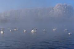 Swan lake mist winter birds Stock Photo