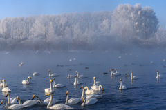 Swan lake mist winter birds Royalty Free Stock Photos
