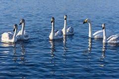 Swan lake mist winter birds Stock Image