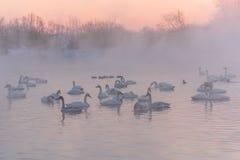 Swan lake mist winter sunset Stock Photography