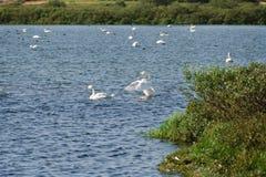 Swan Lake Myvatn Royalty Free Stock Photos