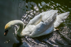 Swan on a lake. Near Amsterdam Royalty Free Stock Photos