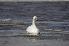 Swan in a lake Stock Images