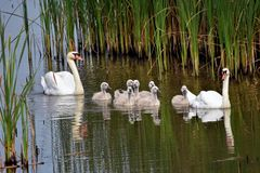 Swan Lake in North Bosnia Royalty Free Stock Photography