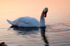 Swan on Lake Ontario 2 Royalty Free Stock Images