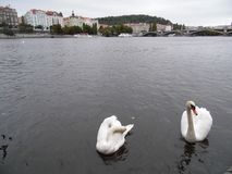 Swan. Lake.Prague WATERThe closest family and swans includes the geese and the duck. The closest family and swans includes the geese and the ducks royalty free stock photography