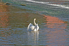 swan lake preening obrazy royalty free