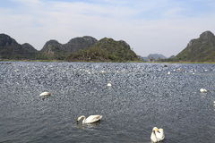 The swan lake in puzhehei county,yunnan, china Royalty Free Stock Image