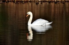 Swan on lake reflected Royalty Free Stock Image