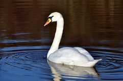Swan on lake reflected Royalty Free Stock Photography