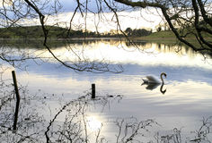 Swan lake scenery Royalty Free Stock Photos