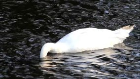 Swan in a lake searching for fodder stock footage