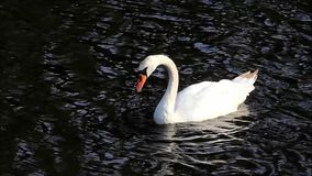Swan in a lake stock video footage