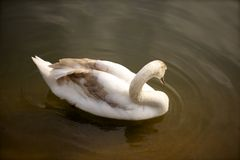 Swan on lake. Shoot in England, london hyde park Stock Photography