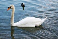 Swan on a Lake Stock Photo