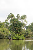 Swan lake in Singapore Botanic Gardens Royalty Free Stock Images