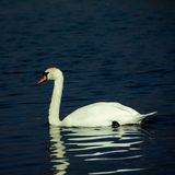 Swan on lake. Single swan floating on a lake with reflection Royalty Free Stock Photography