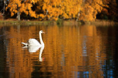 Swan on a lake Stock Photography