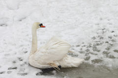 Swan on the lake in the spring Stock Photo