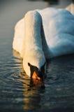 SWAN AT THE LAKE STRKOVEC BRATISLAVA Stock Images
