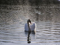 Swan. On the lake in the summer Stock Image