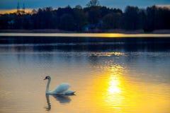 Swan in lake at sundown stock images