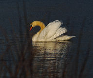 Swan on lake at sunset Stock Photo