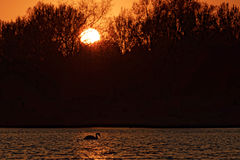 Swan on Lake at Sunset Stock Photos