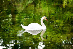 Swan on the lake surrounded by trees. Stock Photography