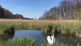 Swan on the lake. A swan calmly swimming on a lake among grasses in sunny weather, Polish spring stock video footage