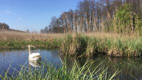 Swan on the lake. A swan calmly swimming on a lake among grasses in sunny weather, Polish spring stock footage