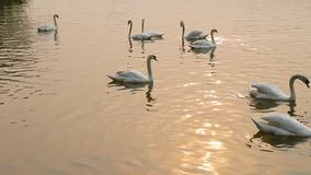 Swan lake. Swans on the water stock footage
