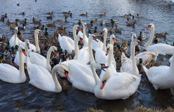 Swan Lake. The swans and ducks together in the fight for survival Royalty Free Stock Image