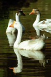 Swan on the lake Stock Photos