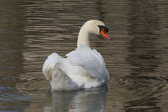 Swan on lake Stock Photography